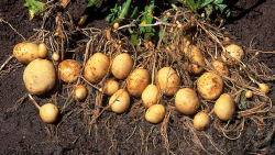 دانلود پاورپوینت نكات مهم در زراعت سیب زمینی